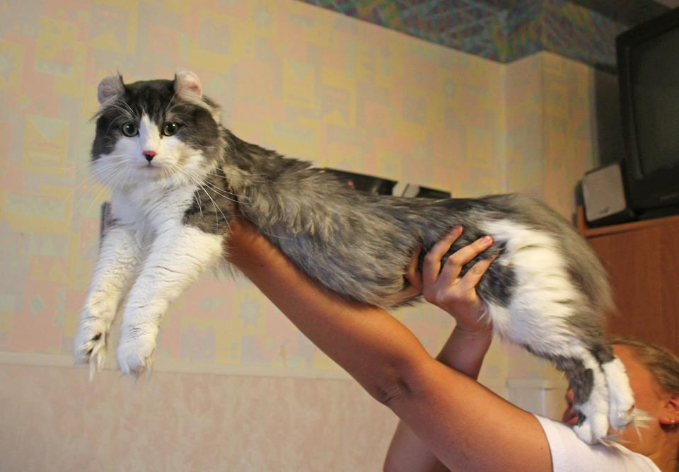 American Curl,  Американский керл,  CH Magicurl's Jack Sparrow of Curland ACL  n 03