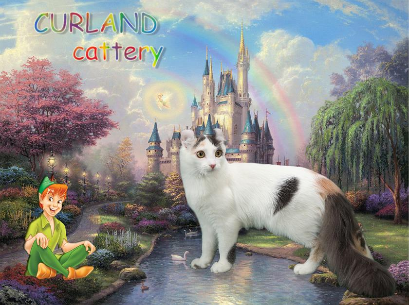 American Curl cattery CURLAND, Американский керл питомник Curland